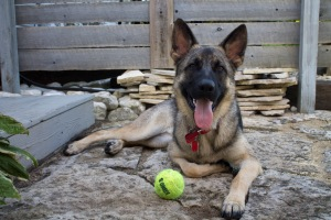 german shepherd dog kong ball smiling good dog