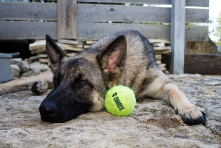 german shepherd dog kong ball tired
