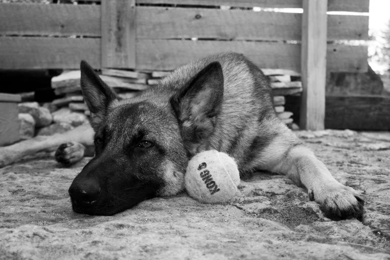 tried german shepherd kong tennis ball
