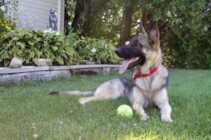 german shepherd dog kong ball tired