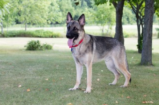 German Shepherd male dog standing