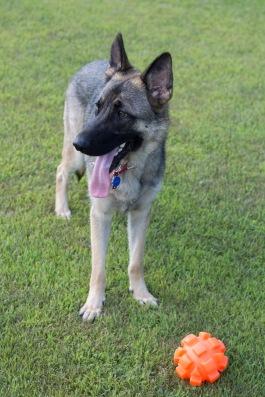 german shepherd dog kong ball