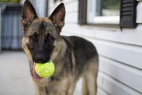 german shepherd dog kong ball staring alpha male