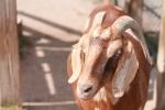 goat, new zoo, evil goat