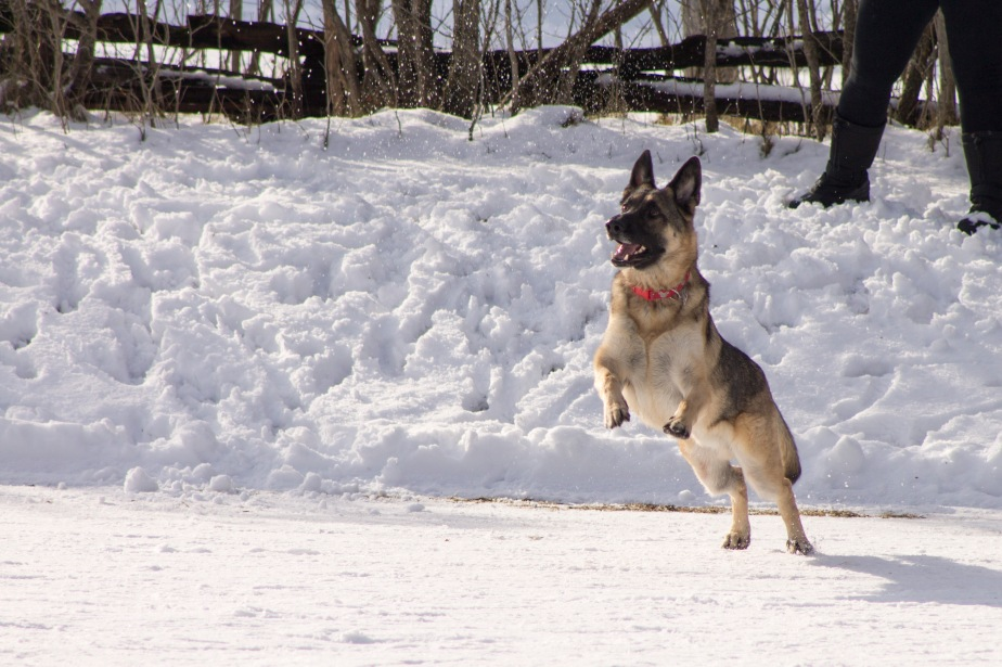 german shepherd jumps, dog, winter, wisconsin